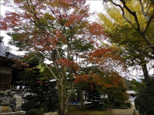 三色もみじの木2