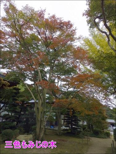 三色紅葉の木