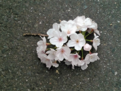 20160401桜