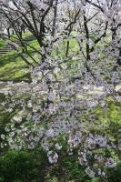 BL160402桜ラン2IMG_1492