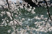 BL160402桜ラン4IMG_1516