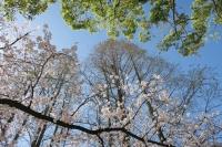 BL160402桜ラン1IMG_1502