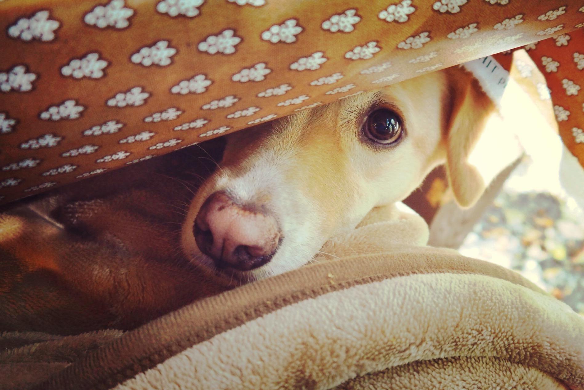 キャボットコーヴ 犬 わんこ