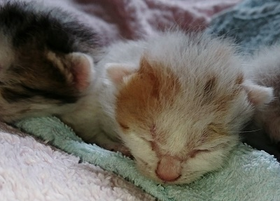 子猫3日チェリー