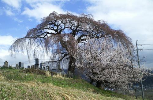 まだつぼみの大久保のしだれ桜(樹齢約180年)(28.4.5)