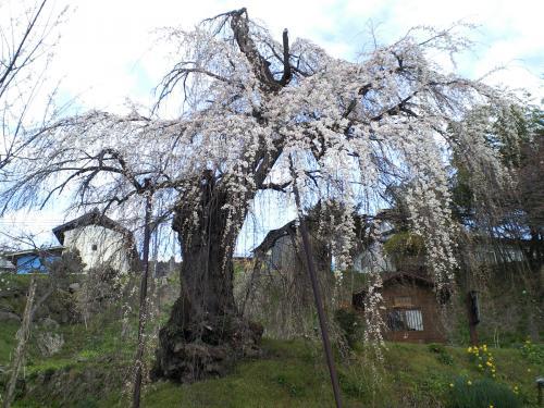 二分咲きの大日庵のしだれ桜(28.4.5)