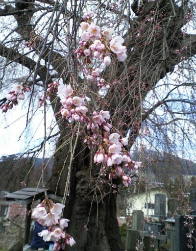 咲き始めた区民会館前のしだれ桜(樹齢約400年)(28.4.5)