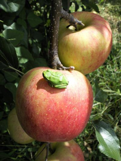 リンゴの上で寛ぐ奴(27.9.26)