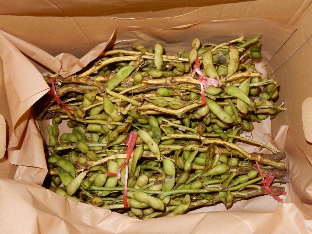 黒豆枝豆 (1)