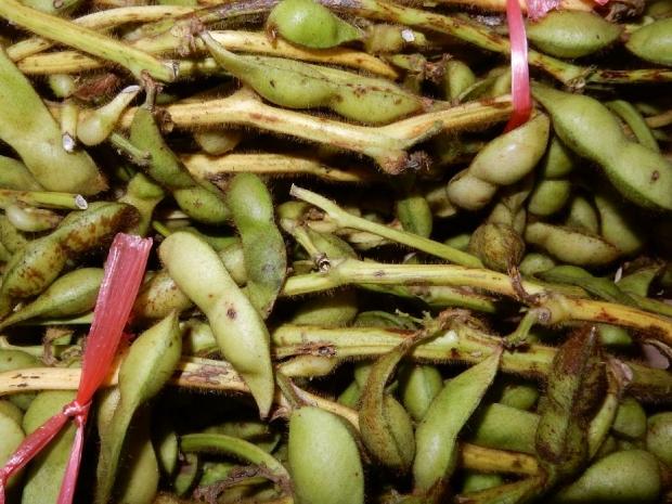 黒豆枝豆 (3)
