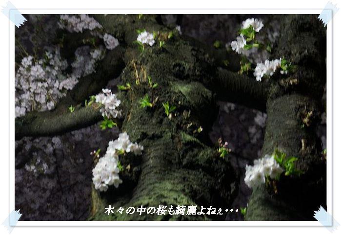 木々の桜6
