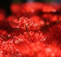 巾着田の彼岸花 深紅の世界/500万本が咲き乱れる、日本一の彼岸花名所