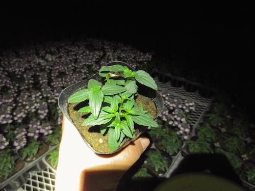 ネメシア パステシア ピンチ 摘芯 育種 新品種 松原園芸 生産