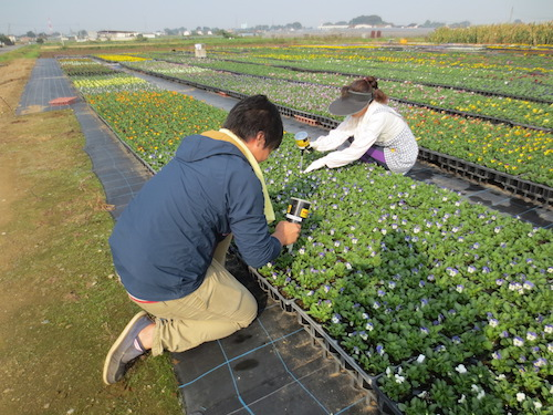 パンジー ビオラ 2作目 肥料入れ オリジナル パンジー ビオラ 肥料入れ スペーシング  松原園芸 生産