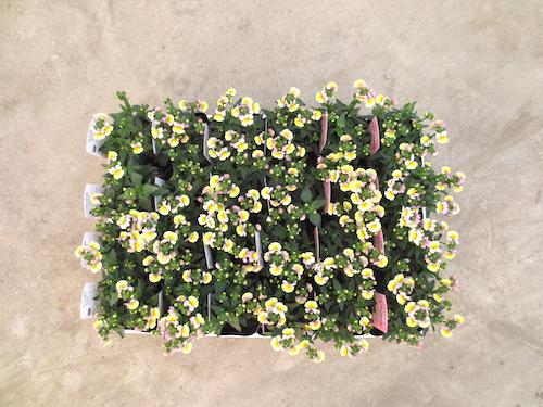 ネメシア パステシア レモン&パープル  育種 生産 販売 松原園芸