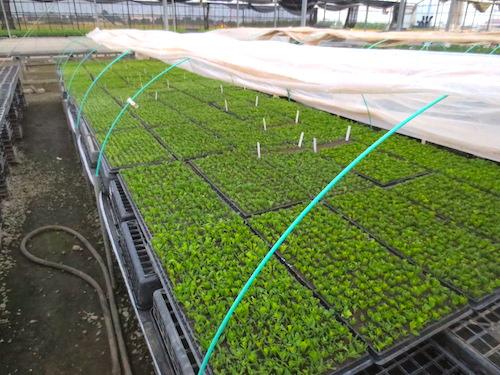 オステオスペルマム 挿し芽 天挿し  育種 生産 販売 松原園芸