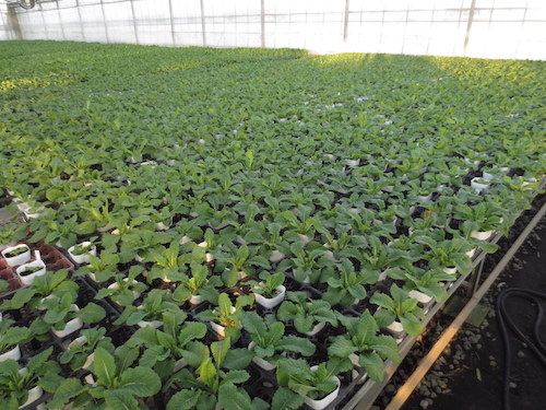 プリムラ オリジナル交配  育種 生産 販売 松原園芸 オリジナル品種
