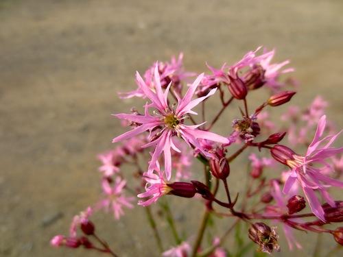 リクニス フロスククリ(ナデシコ科Lychnis flos-cuculi)宿根草 生産 販売 松原園芸