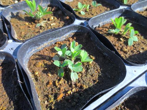 トリフォリウム ルベンス Trifolium rubens 宿根草 生産 販売 松原園芸