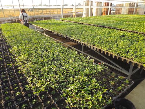 サポナリア オキモイデス(ナデシコ科 学名:Saponaria ocymoides) 摘芯 ピンチ 生産 販売 松原園芸