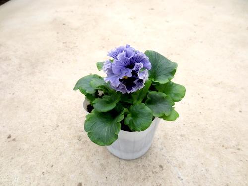 アンティークラッフル ボール咲きブルー 育種 生産 販売 松原園芸 オリジナル品種