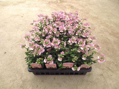 ネメシア パステシア ピンク 育種 生産 販売 松原園芸 オリジナル品種