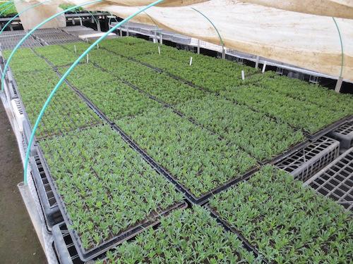マーガレット ぽぽたん 挿し芽 育種 生産 販売 松原園芸 オリジナル品種