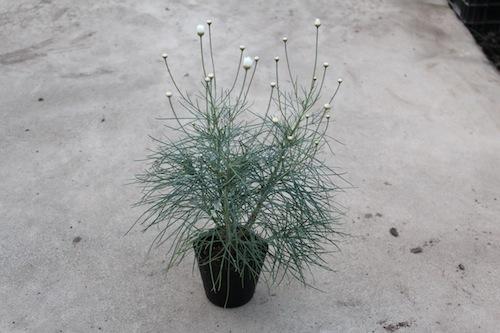 マーガレット チェルシーガール 糸葉  生産 販売 松原園芸