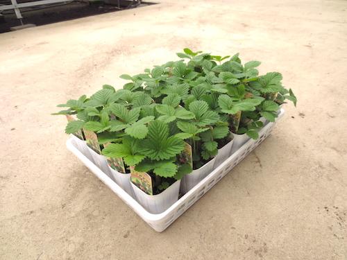 白いイチゴ トロピカルアロマ ワイルドストロベリー Fragaria vesca 育種 生産 販売 松原園芸
