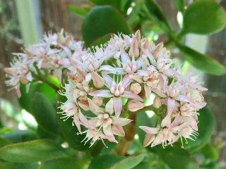 160315_3836今朝の「金のなる木」の花VGA
