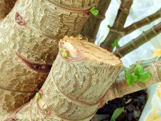 160322_3845「金のなる木」の新芽VGA