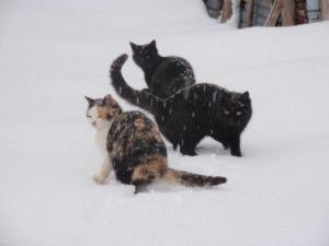 雪猫jpg