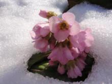 雪中のイワカガミ