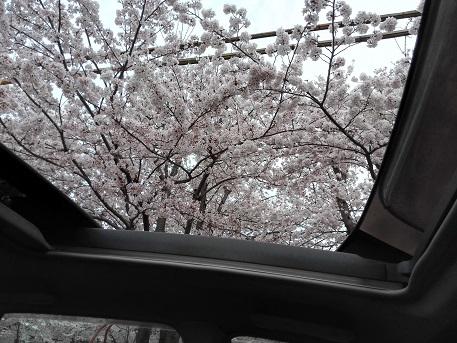 2 サンルーフを開けて、桜を楽しむ
