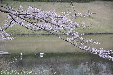 sakuramankai2016040214.jpg