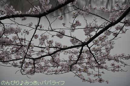 sakuramankai2016040215.jpg