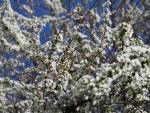 裏庭の雪柳