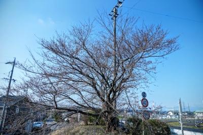 場内コースの桜 2016/03/28