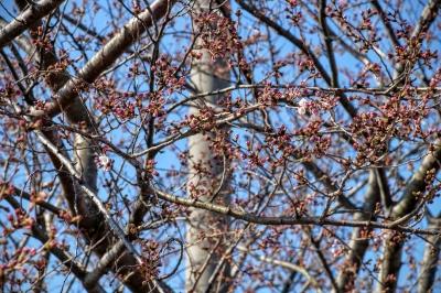2016年3月・場内コースの桜