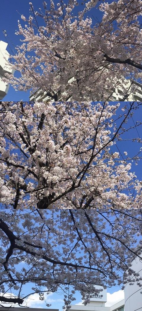 20160402桜