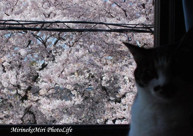 20160402桜2
