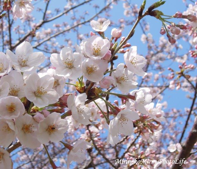 20160331桜