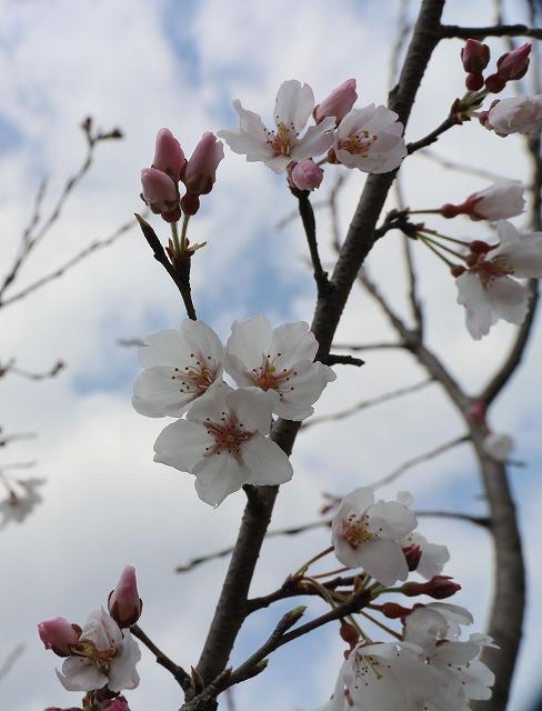 淡墨桜右空に向かって 28.3.26