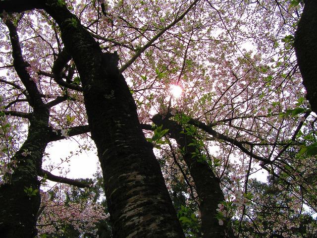 桜の樹 28.4.10