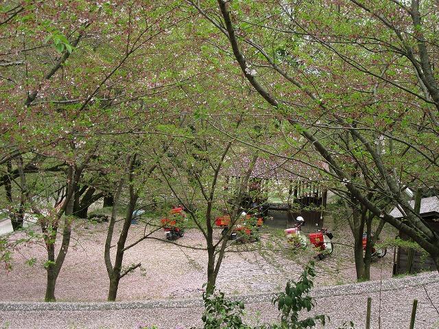 桜吹雪のランチ楽しむ 28.4.9