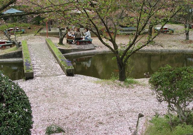朝日山の桜散った花びら 28.4.9
