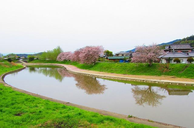 高瀬川の土手の桜 28.4.9