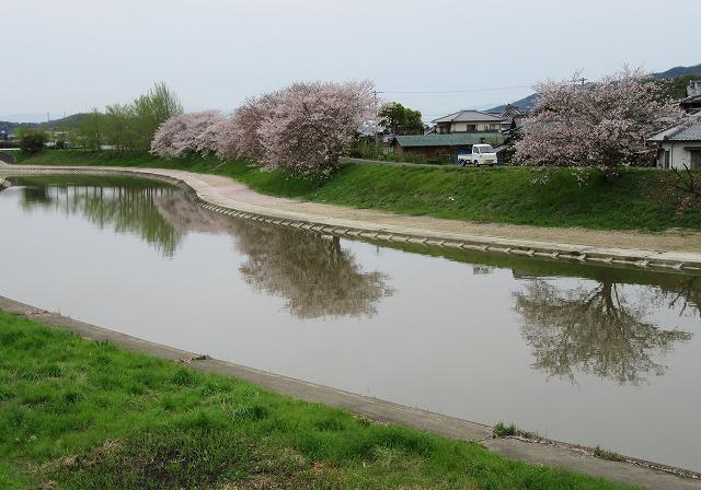 高瀬川の桜 28.4.9