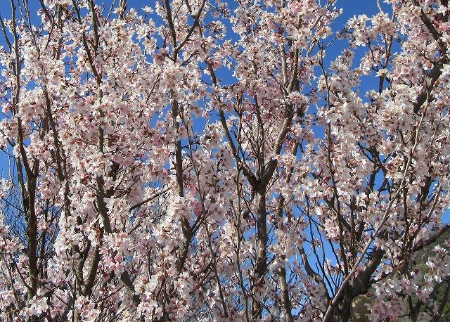 啓翁桜 横 28.3.22