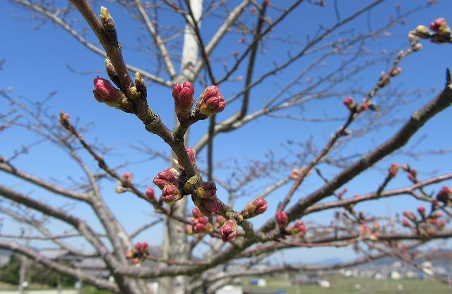シラカワ桜 エドヒガン 28.3.22
